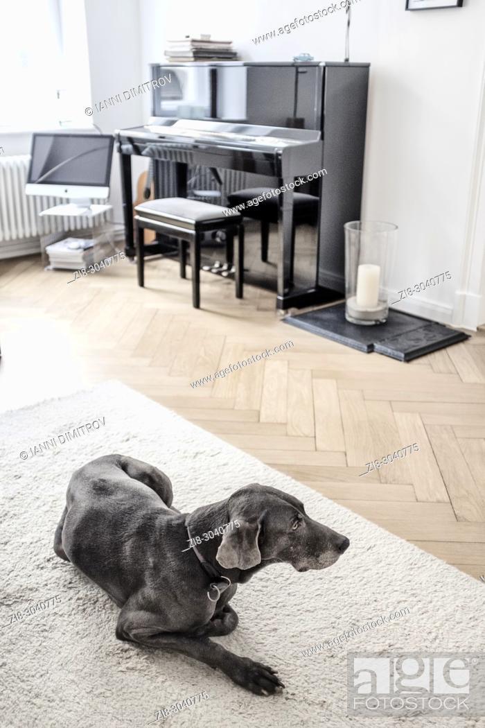 Stock Photo: Pedigree dog -Weimaraner on white carpet.