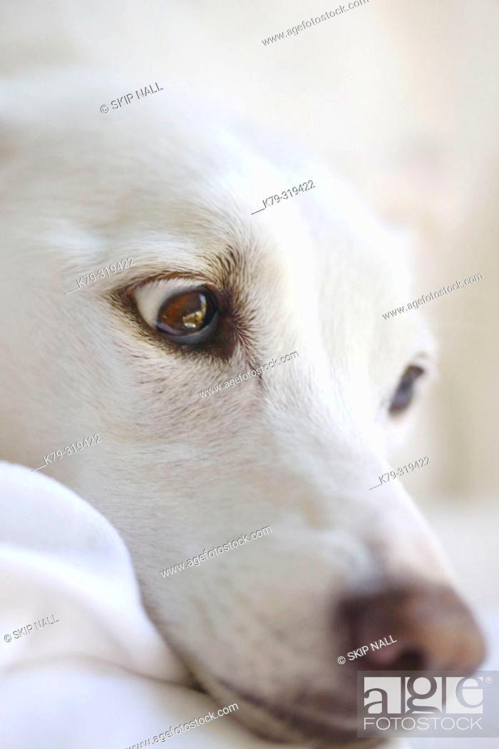 Stock Photo: White dog's face.
