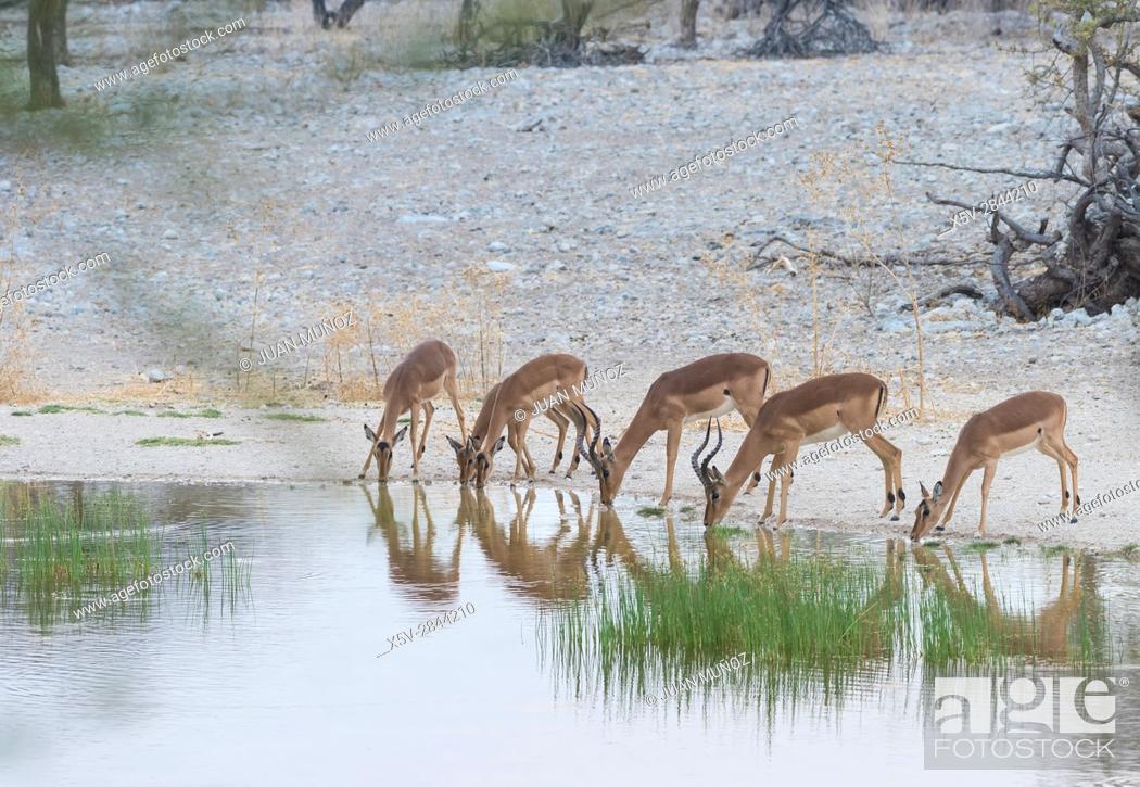 Stock Photo: Impala (Aepyceros melampus). Etosha National Park. Namibia. Africa.