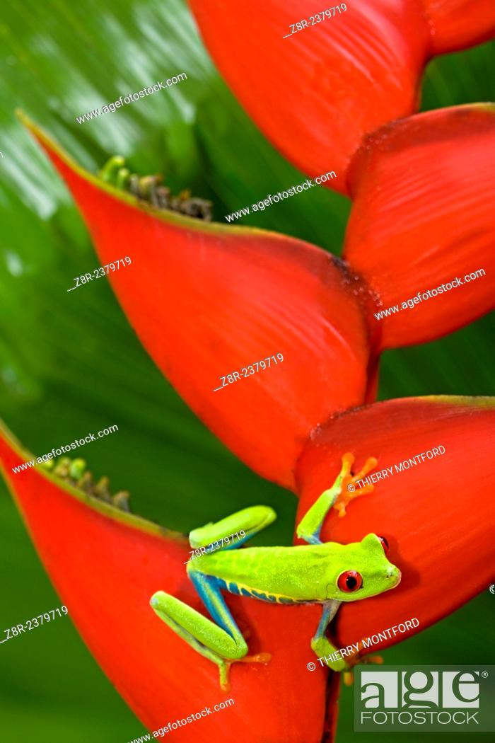 Stock Photo: Agalychnis callidryas - red eyed tree frog on a Héliconia bihai. Costa Rica.