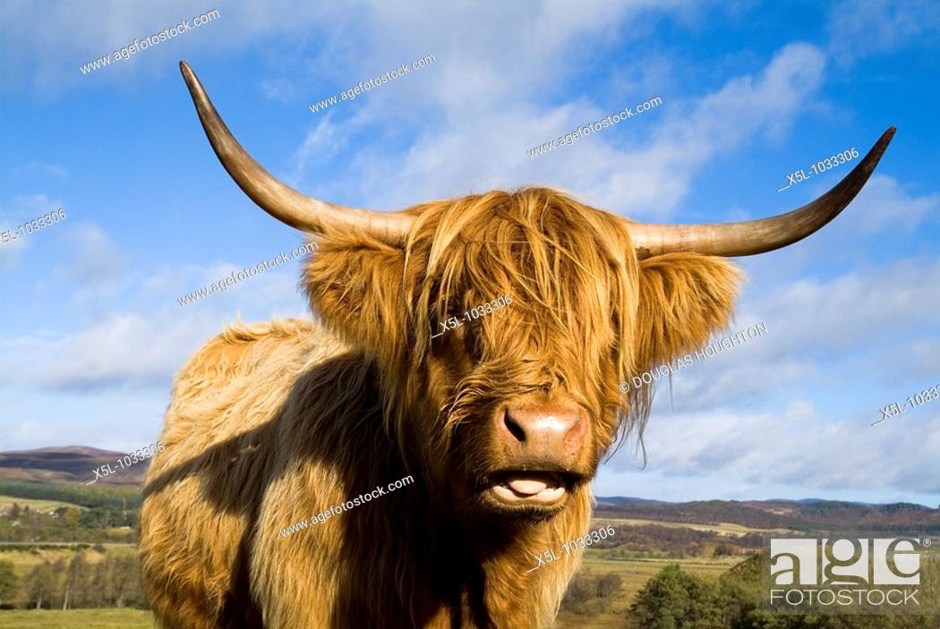 Stock Photo: Highland cow CATTLE ANIMAL Scottish Highland cow close up of head and horns.