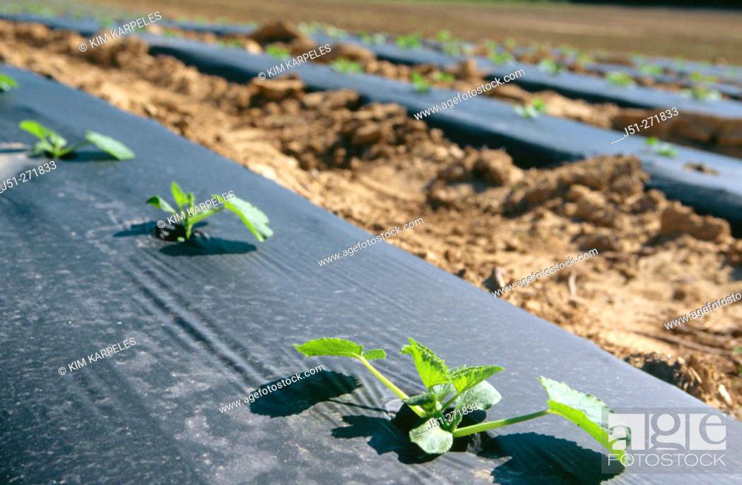 Stock Photo: Zucchini squash seedings with black plastic. USA.