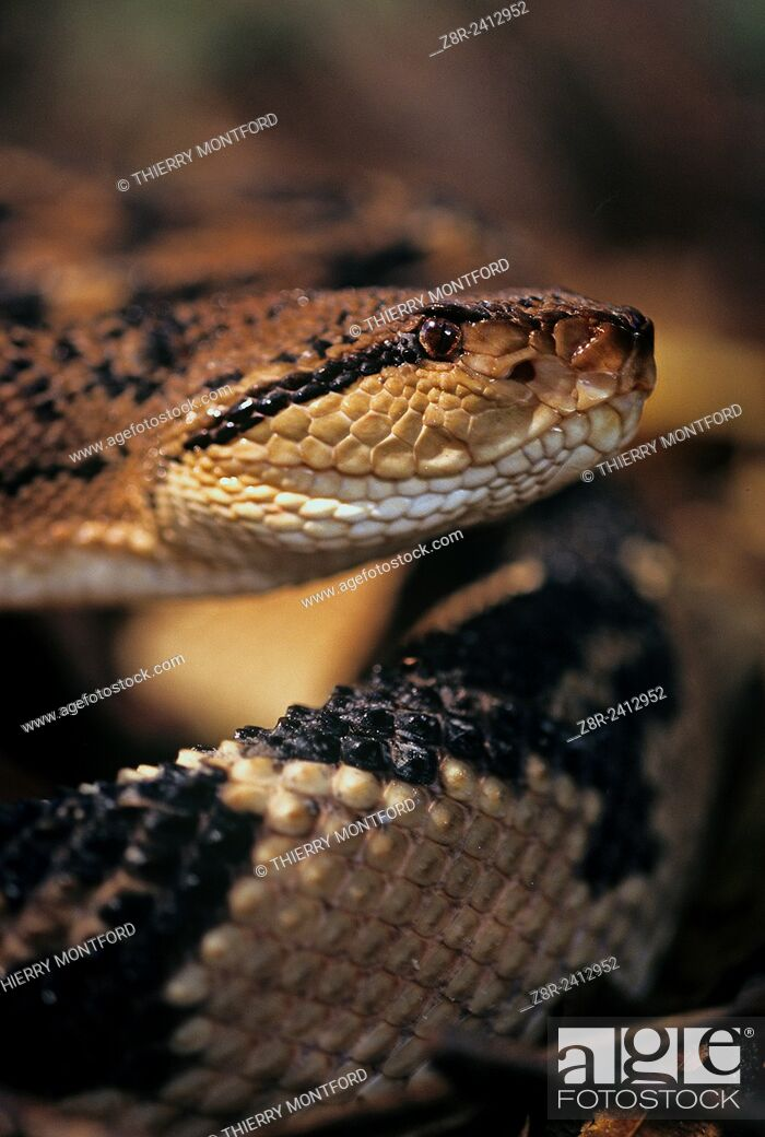 Stock Photo: Lachesis muta - Bushmaster, surucucu. Large viperid (the largest pitviper), rather peaceful, mostly nocturnal. Its bite is dangerous.
