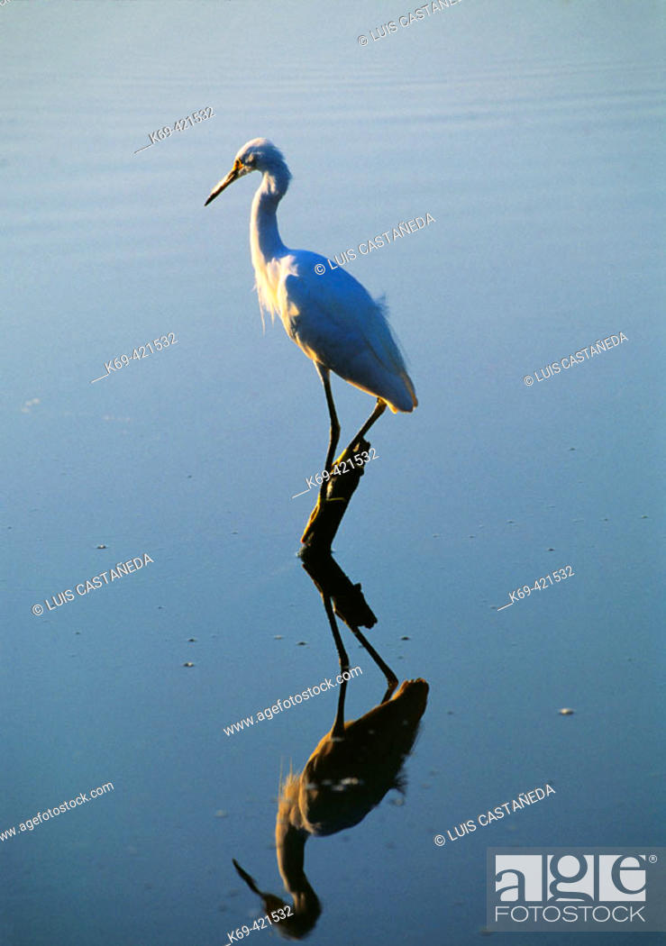 Stock Photo: Snowy Egret (Egretta thula).