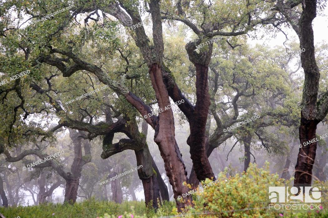 Stock Photo: Oaks of Andalucia, cork bark for industrial use.