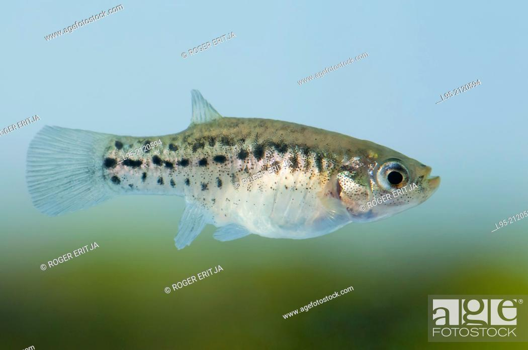 Stock Photo: Female of Aphanius iberus, a mosquito larvivorous fish species presently endangered in the Mediterranean since the introduction of the American mosquitofish.