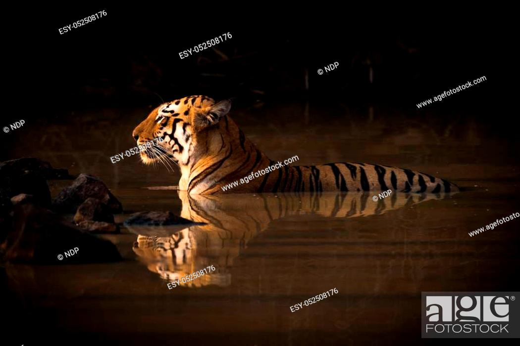 Stock Photo: Bengal tiger lying in shadowy water hole.
