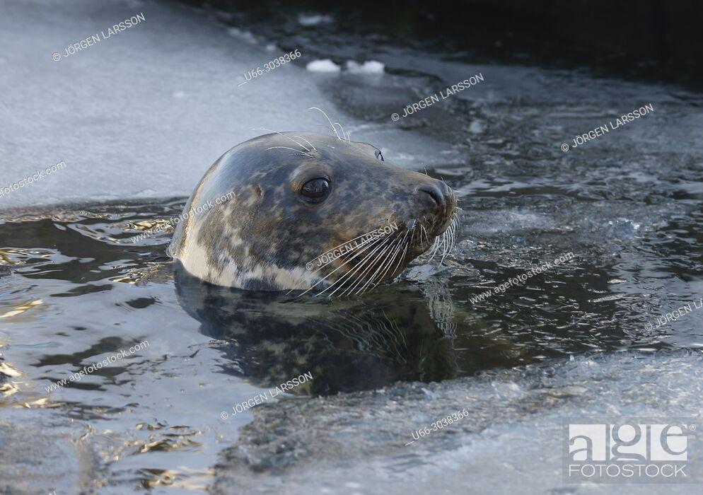 Stock Photo: Grey seal (Halichoerus grypus), Baltic sea, Sweden.