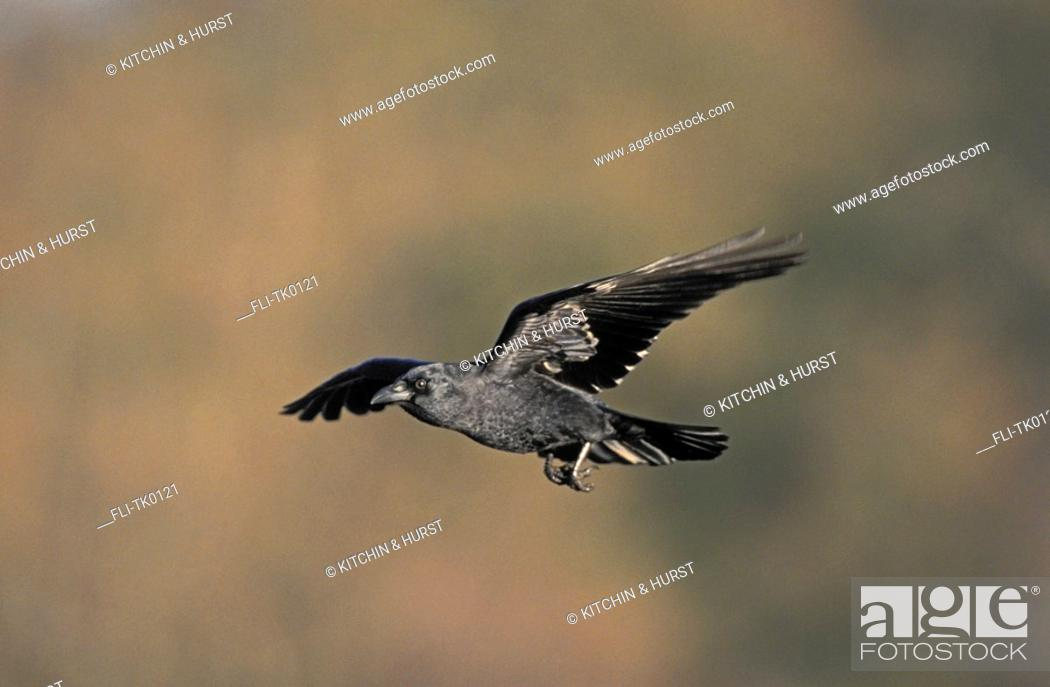 Stock Photo: Common Crow,American Crow  Spring  British Columbia, Canada  Corvus brachyrhynchos.