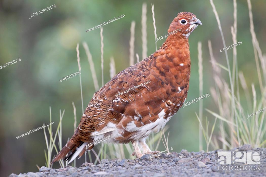 Stock Photo: A male Willow Ptarmigan (Lagopus lagopus) in summer plumage in Tombstone Territorial Park, Yukon, Canada.