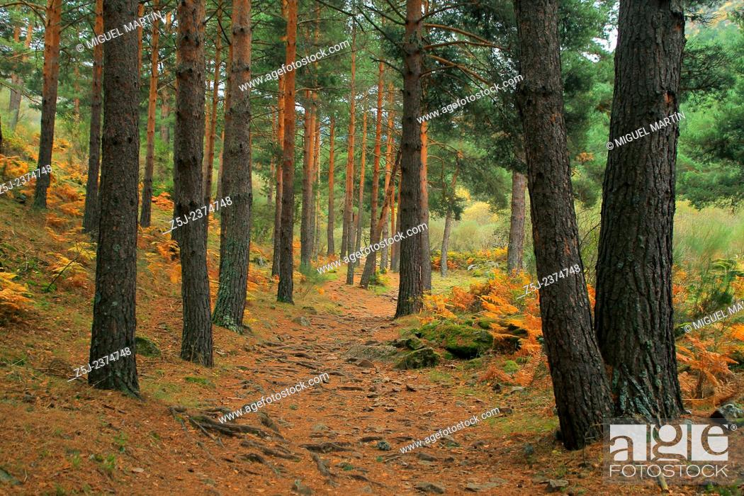 Stock Photo: The trekking route to El Purgatorio waterfalls cross a pine forest alongside Aguilón river, in the high Lozoya Valley at Sierra de Guadarrama mountain range.