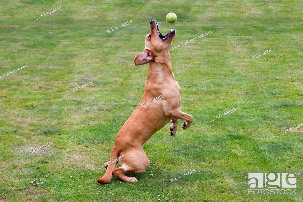 Stock Photo: Yellow Labrador chasing ball in garden.