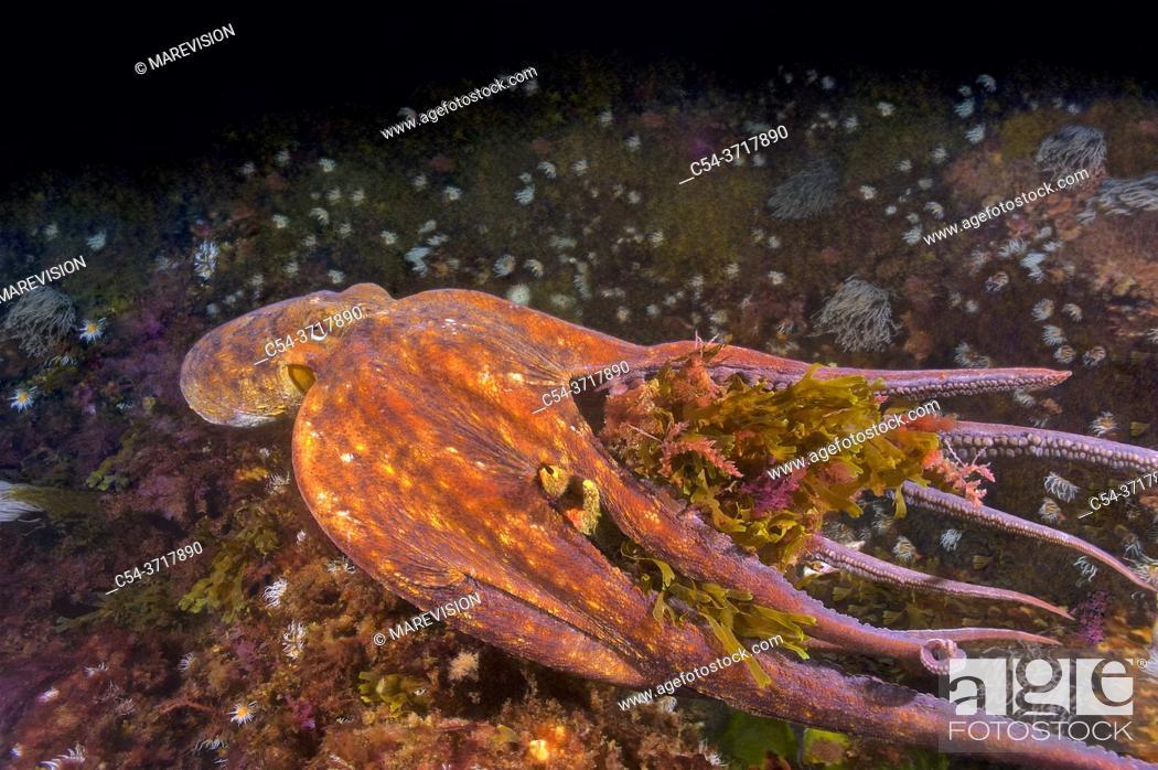 Stock Photo: Common octopus (Octopus vulgaris) swimming and devouring Great spider crab (Maja squinado). Eastern Atlantic. Galicia. Spain. Europe.