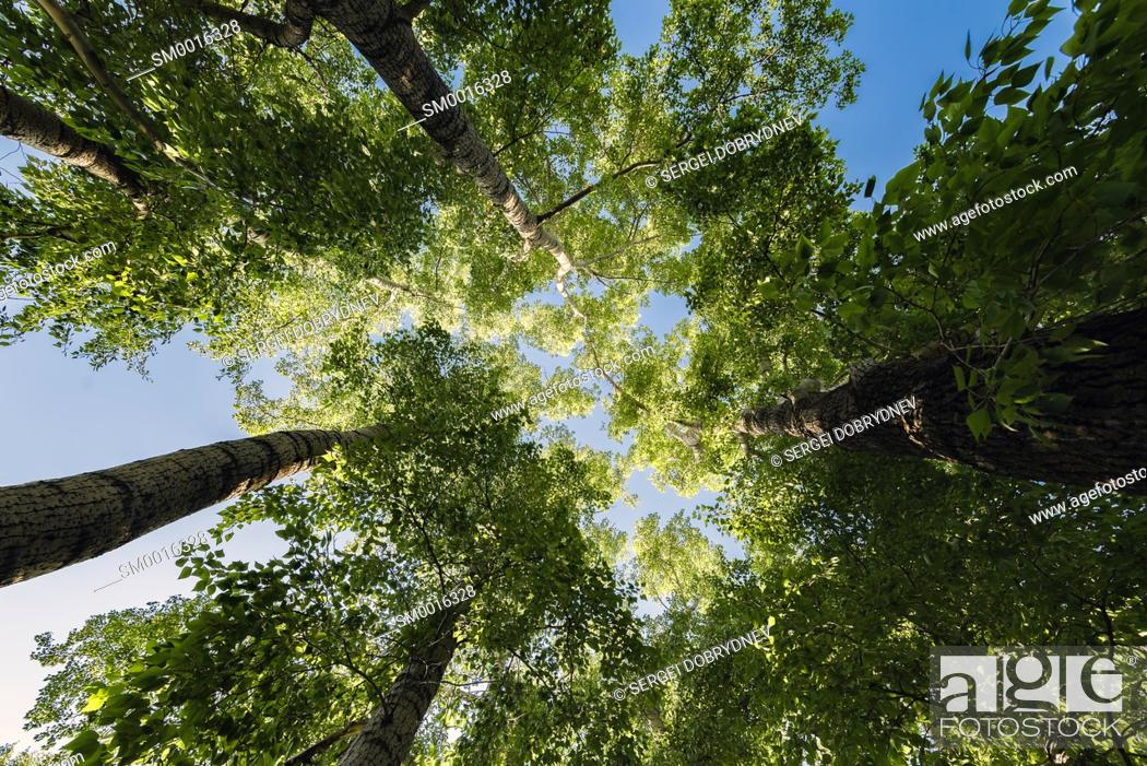 Stock Photo: Trunks of poplars with green foliage reach for the sky in the center of the frame.