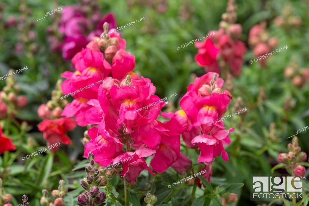 Stock Photo: Colourful snap-dragon flowers, Antirrhinum majus in greenhouse. Spring garden series, Mallorca, Spain.