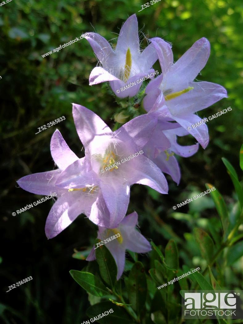 Stock Photo: Nettle-leaved bellflower (Campanula trachelium). Catalonia, Spain.