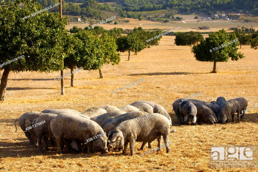 Stock Photo: Majorcan black pig, Son Brondo, Lloret de Vistalegre, Es Pla, Mallorca, Balearic Islands, Spain.