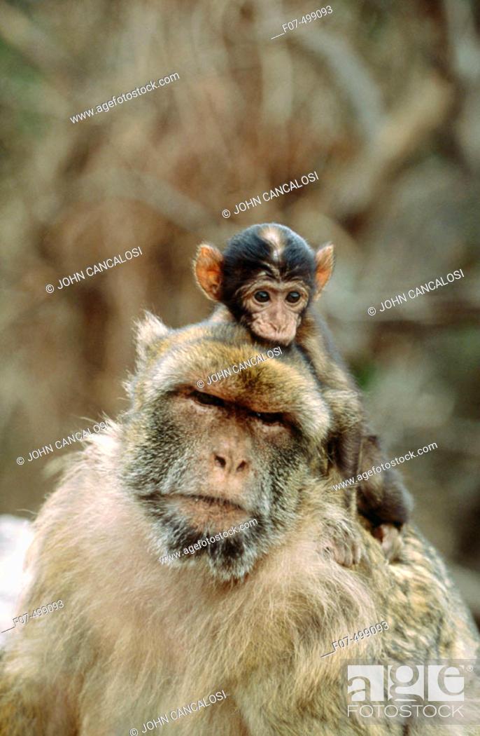 Stock Photo: Barbary Macaque (Macaca sylvanus). Gibraltar, UK.