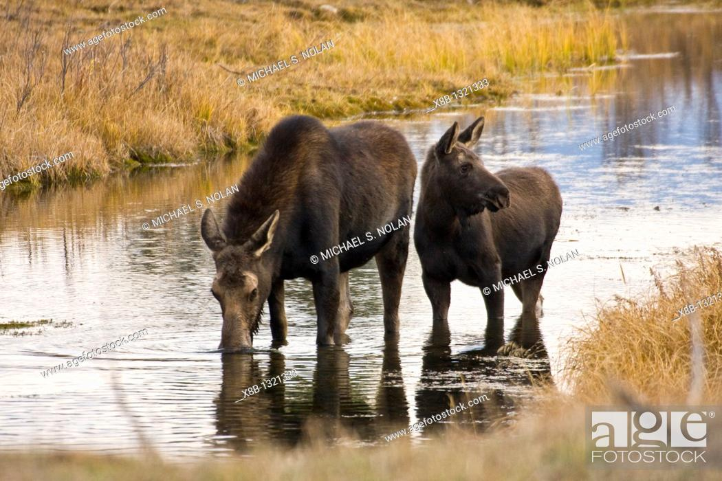 Stock Photo: Cow and calf moose Alces alces shirasi feeding near the Gros Ventre river just outside of Grand Teton National Park, Wyoming.