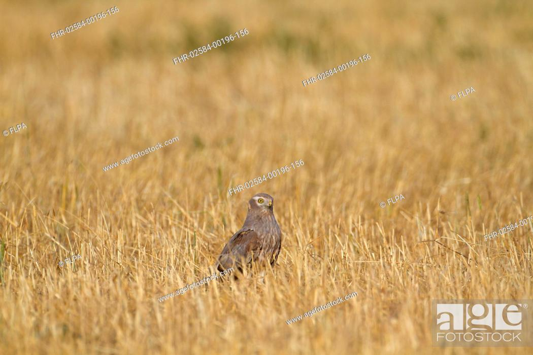 Stock Photo: Montagus Harrier Circus pygargus immature male, standing in stubble field, Northern Spain, july.