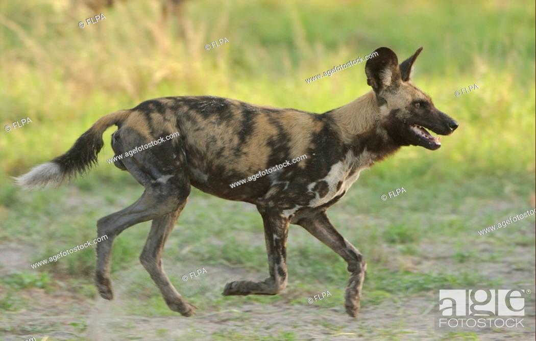Imagen: African Wild Dog Lycaon pictus adult male, running, Kwando, Linyanti, Botswana.