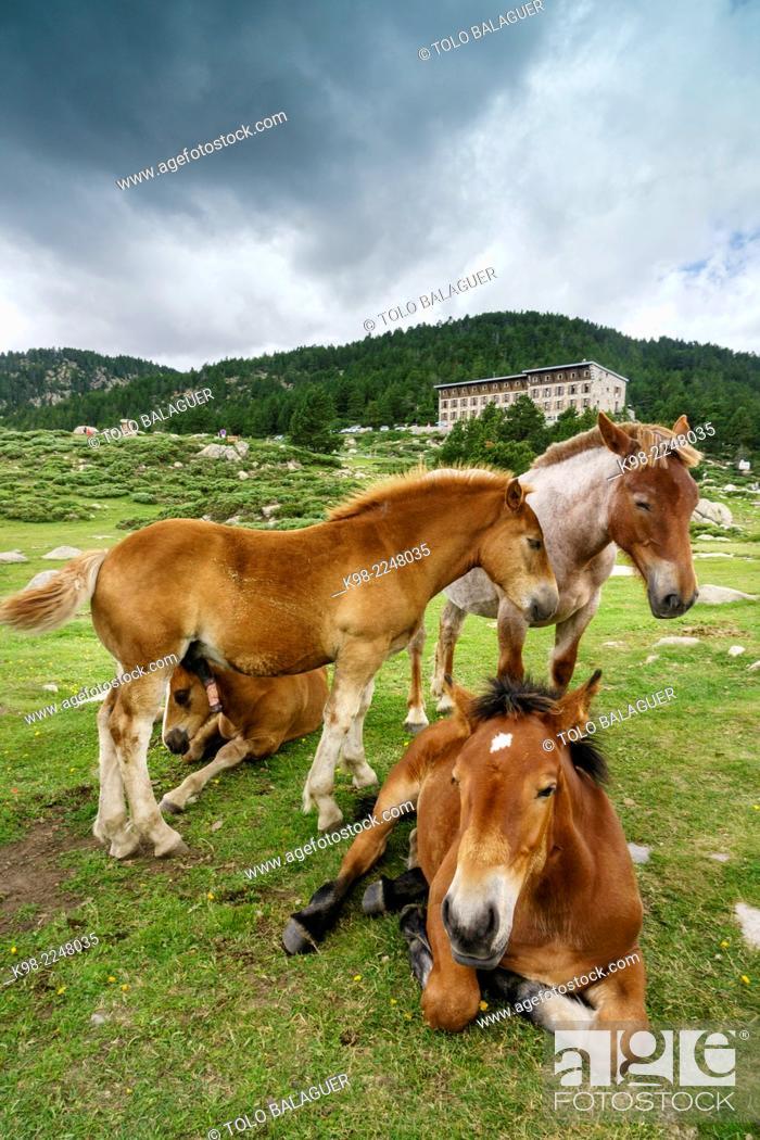 Stock Photo: France, French Pyrenees, Capcir, Carlit, Les Bullosses Lake, Catalan Pyrenean horses in pasture.