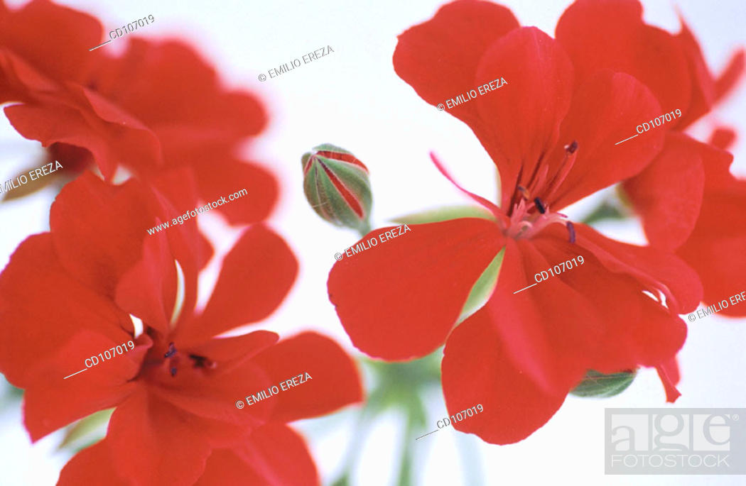 Stock Photo: Geranium (Pelargonium peltatum).