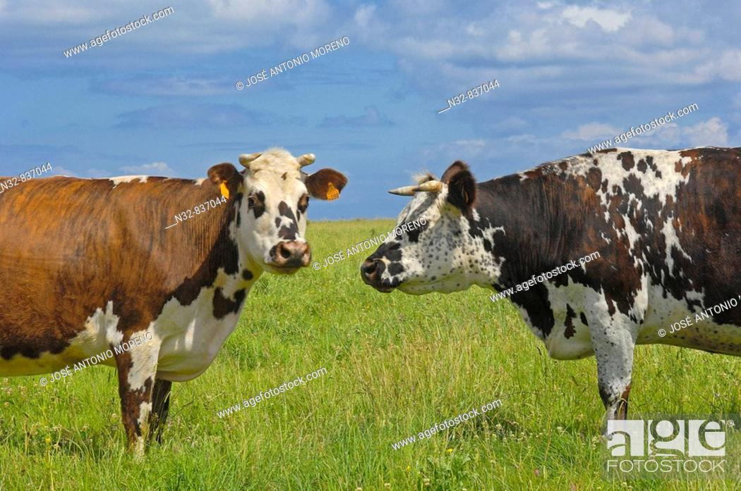 Stock Photo: Cow. Basse-Normandie. Normandy. France.