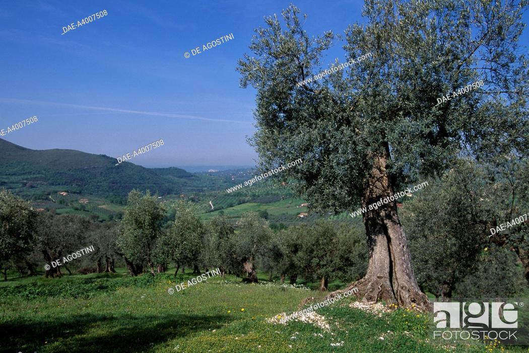 Stock Photo: Olive groves (Olea europaea), Oleaceae, Castelnuovo di Farfa, Lazio, Italy.