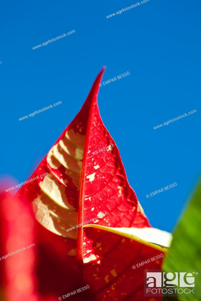 Stock Photo: Poinsettia's leaves, euphorbia pulcherrima. Valencia. Spain.