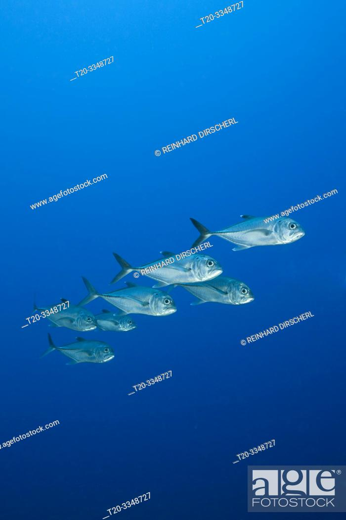 Stock Photo: Shoal of Bigeye Trevally, Caranx sexfasciatus, Tufi, Solomon Sea, Papua New Guinea.