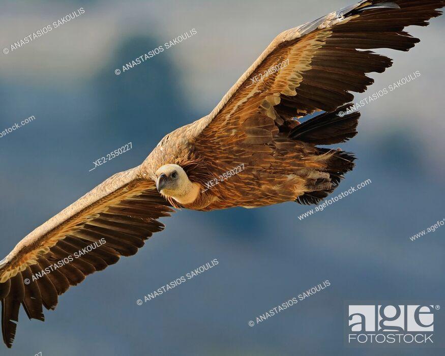 Stock Photo: Griffon Vulture - Gyps fulvus, Crete.