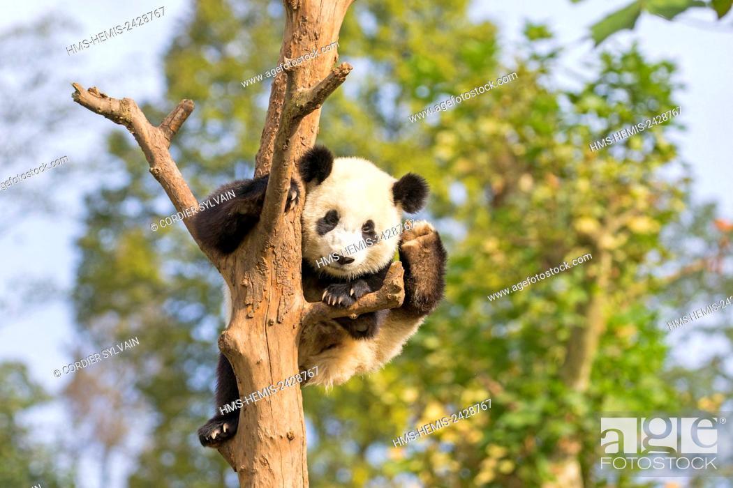 Stock Photo: China, Sichuan province, Chengdu, Research Base of Giant Panda Breeding or Chengdu Panda Base, Giant Panda (Ailuropoda melanoleuca), captive, in a tree.