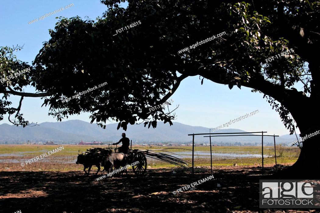 Stock Photo: A farmer driving an ox cart, Inle Lake, Burma.