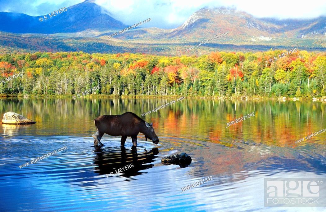 Stock Photo: Eastern moose, Taiga moose, American moose, Canadian Moose, Northeastern moose (Alces alces americana, Alces americana), cow moose feeding aquatic plants, USA.
