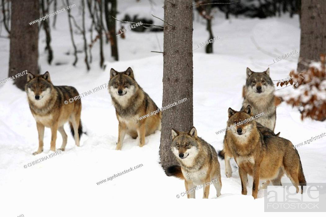 Stock Photo: European Wolves Canis lupus.