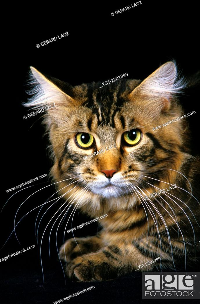 Stock Photo: Brown Tabby Maine Coon Domestic Cat, Portrait.