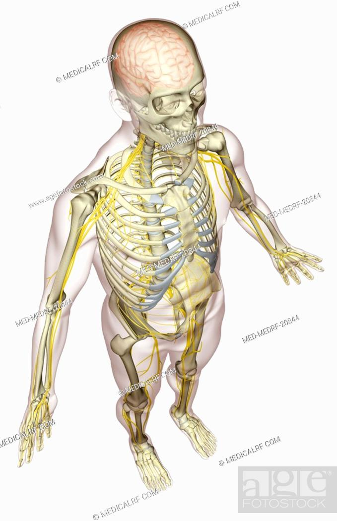 Stock Photo: The nervous system.