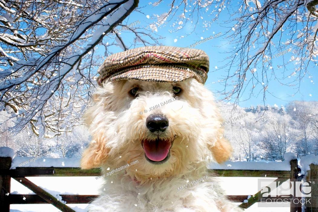 fa9ee7b1030bb Stock Photo - DOG - Poodle wearing a flat cap in Christmas winter scene  Digital Manipulation