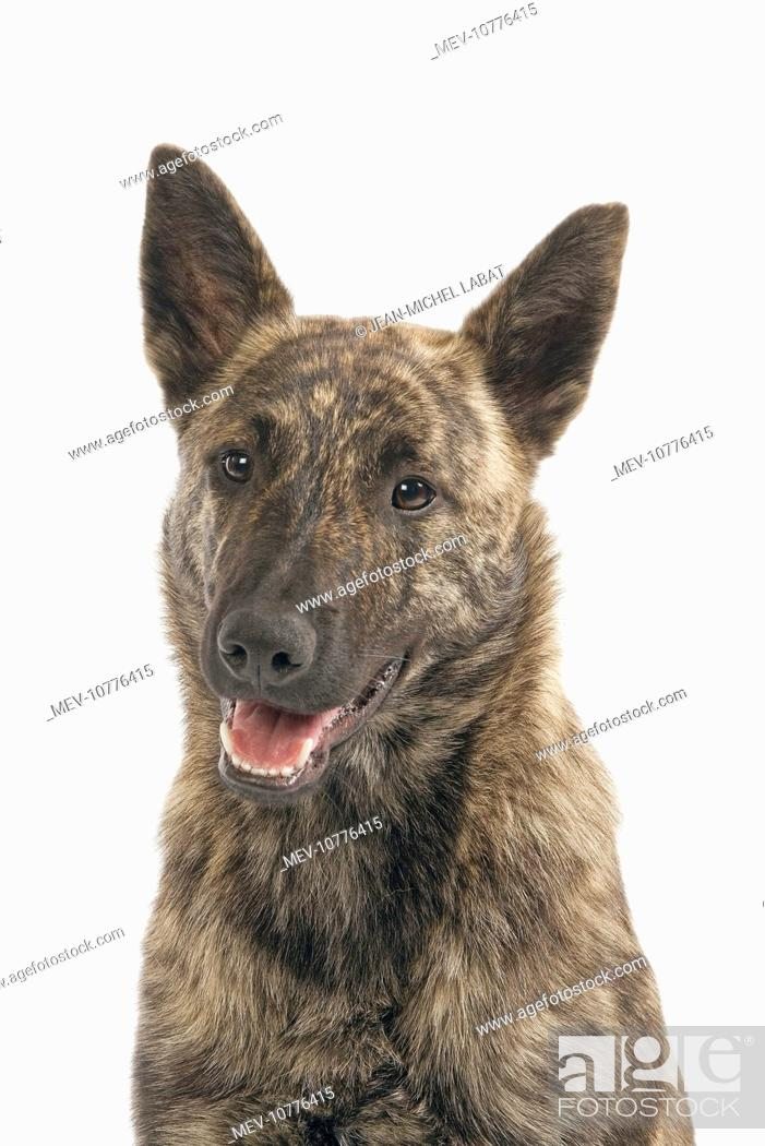 Dutch Shepherd Short Hair Dog Stock Photo Picture And Rights Managed Image Pic Mev 10776415 Agefotostock