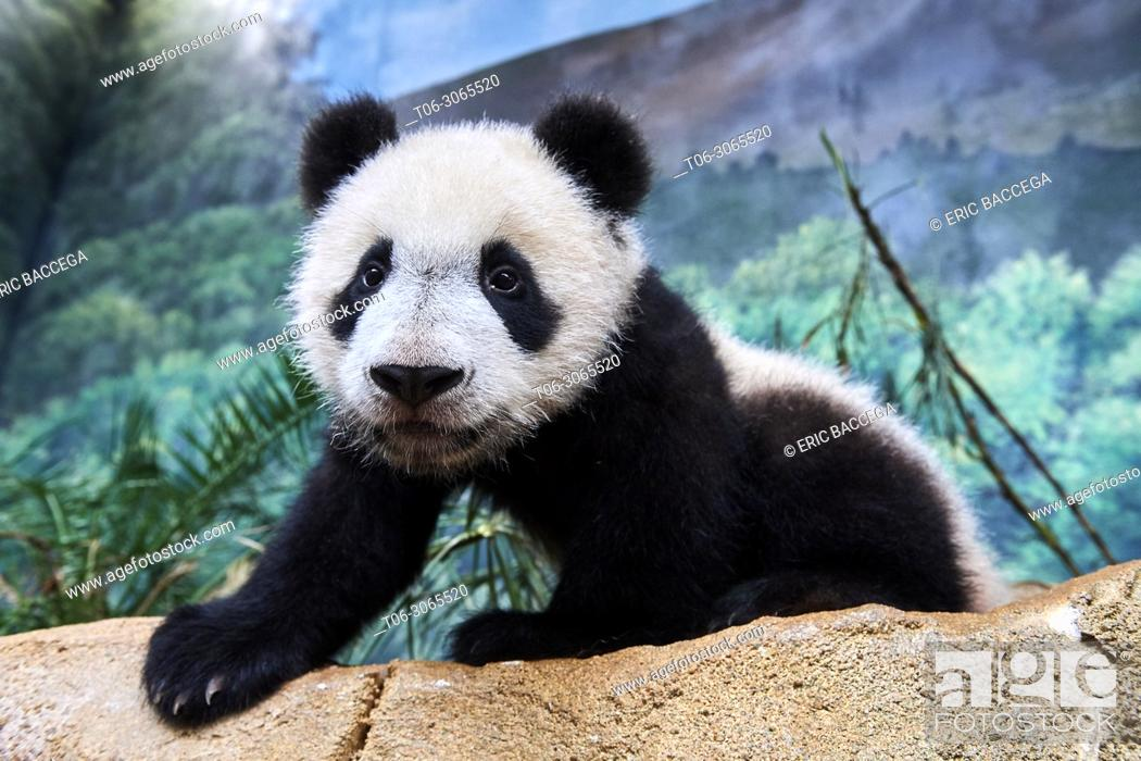 Stock Photo: Portrait of giant panda cub (Ailuropoda melanoleuca) captive. Yuan Meng, first giant panda ever born in France, is now 10 months old, Zooparc de Beauval.