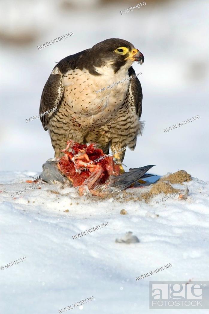 Stock Photo: peregrine falcon Falco peregrinus, gorging dove, Germany, Baden-Wuerttemberg.