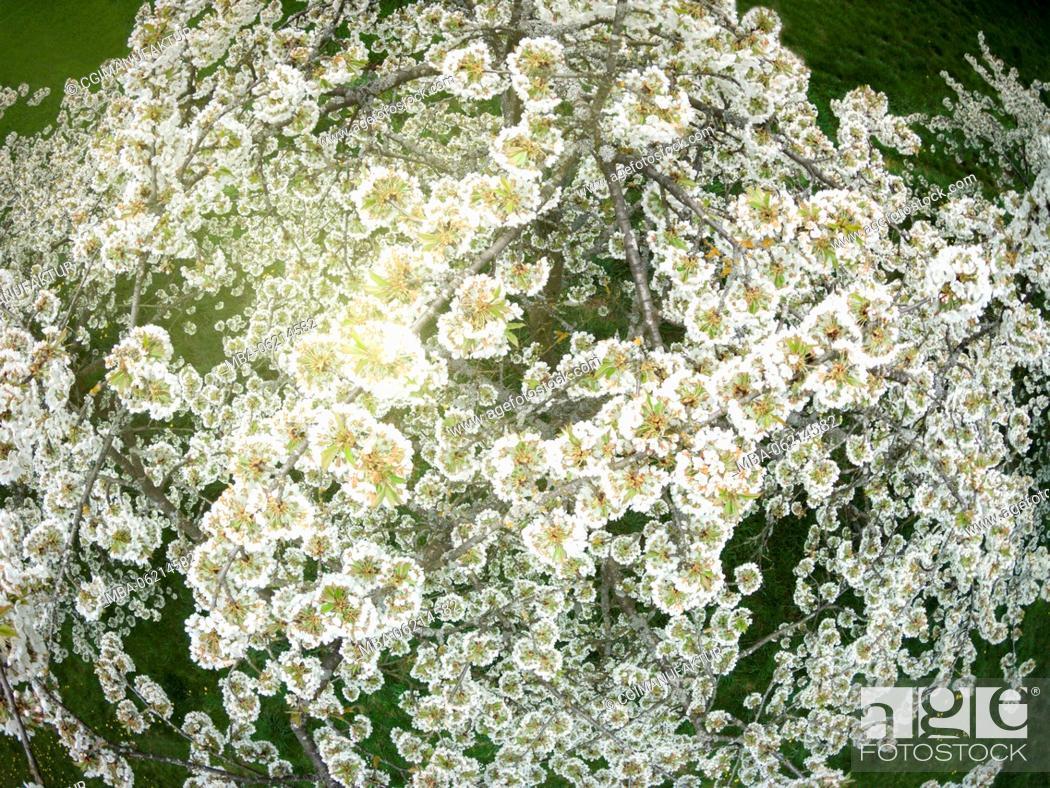 Stock Photo: Germany, Bavaria, Franconia, Cherry blossom, drones Photography.