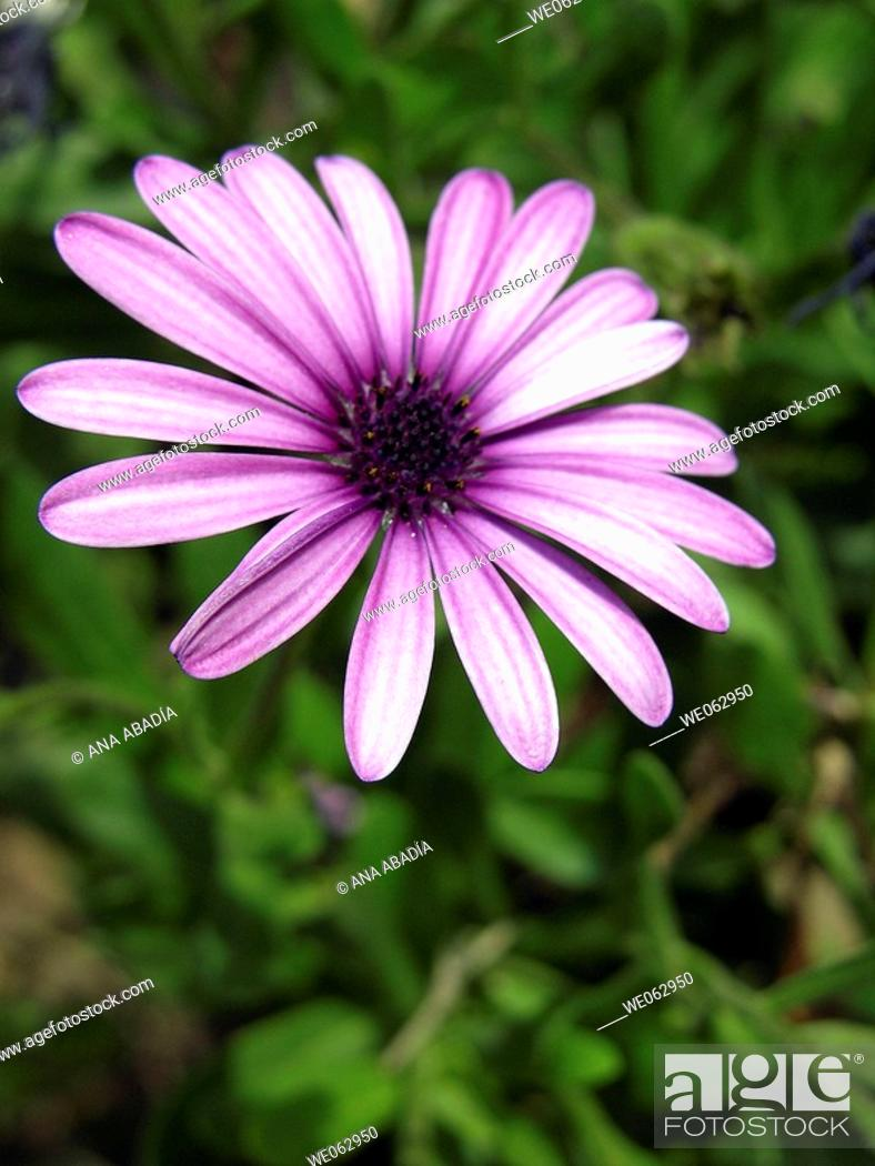 Stock Photo: Purple daisy.
