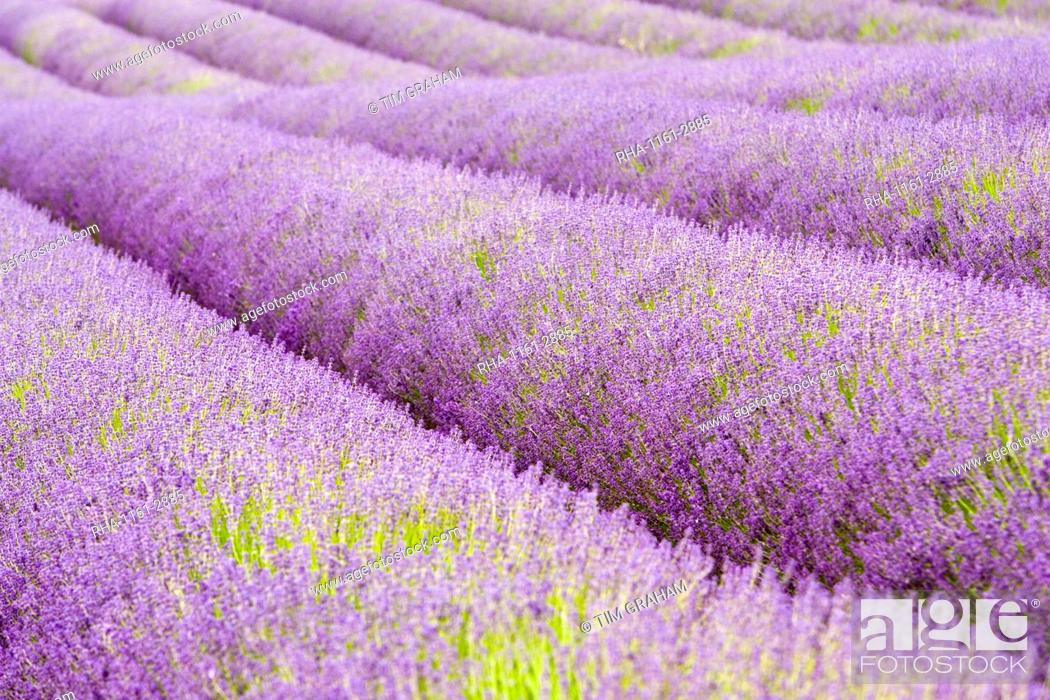 Stock Photo: Snowshill lavender field, Worcestershire, United Kingdom The Cotswolds.
