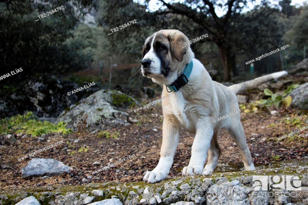 Stock Photo: Spanish mastiff young shepherd dog, Algámitas, Sevilla, Andalucia, Spain, Europe.