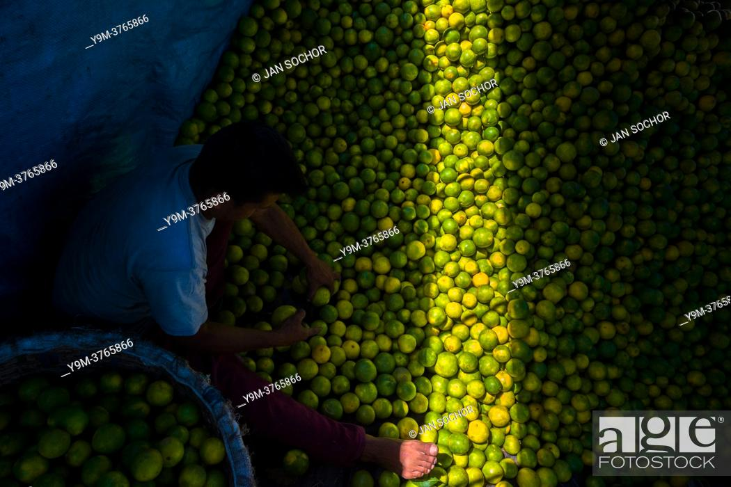 Stock Photo: A Colombian worker loads green oranges (for juicing) into baskets inside a truck parked in a fruit market in Barranquilla, Colombia.