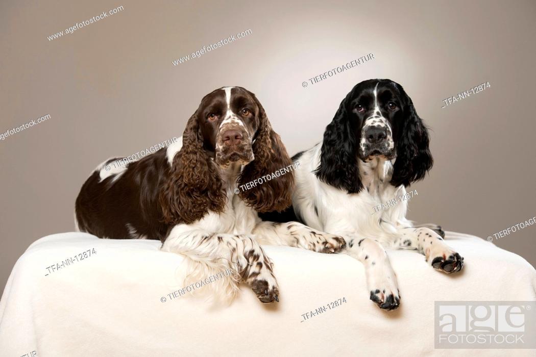 Stock Photo: 2 English Springer Spaniel.