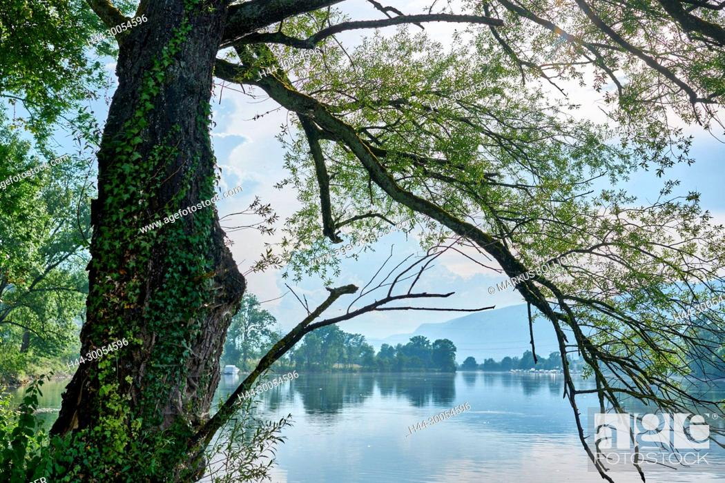 Stock Photo: River, Aare, water, waters, silver pasture, Populus alba, tree, shore, wood, ivy, Hedera helix, bank wood.