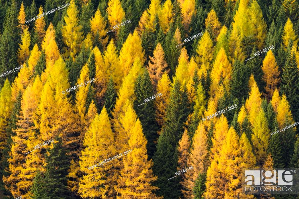 Imagen: Autumnal colored mountain forest with larch trees, Cadore, Misurina, Belluno District, Veneto, Dolomites, Italy, Europe.